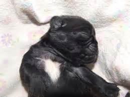 how much is a purebred pug pugpugpug