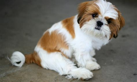 housebreaking a shih tzu get to the shih tzu breed history health characteristics dogbuddy