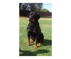 rottweiler puppies for sale johannesburg pets gauteng ad land south africa