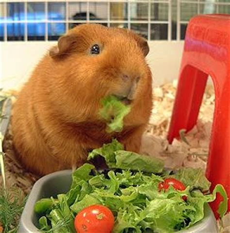 vegetables guinea pigs can eat guinea lynx favorite foods