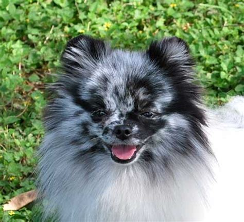 blue merle pomeranians for sale blue merle pomeranian memes