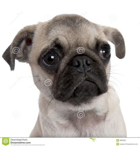 5 month pug up on a pug puppy 5 months stock photo image 9893530