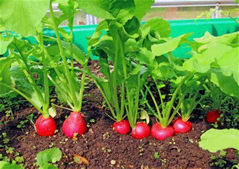 Radieschen Garten Pflanzen by Das Gartenjournal Tipps Und Ratgeber Rund Um Den Garten