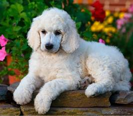 popular poodle names 250 poodle names awesome ideas for naming your
