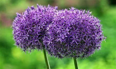 coltivare aglio in vaso piantare l aglio in vaso gallery of le regole universali