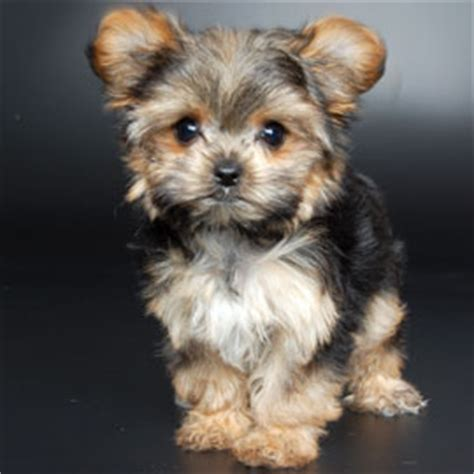 just puppies net what does a yorkie shih tzu look like breeds picture