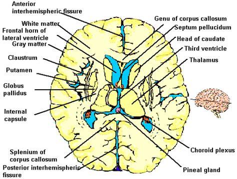 horizontal cross section imgs for gt horizontal cross section of brain