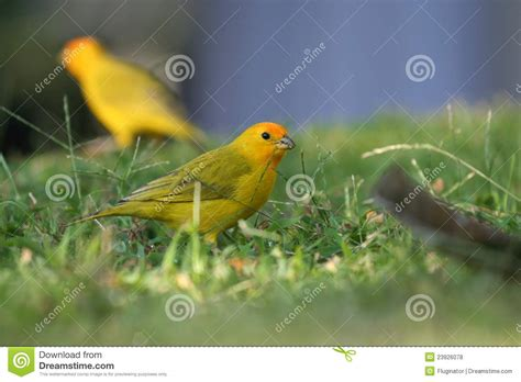 canaries bird yellow stock photos yellow fronted canary birds stock photo image 23926078