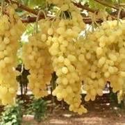 tipi di uva da tavola variet 224 uva da tavola vite