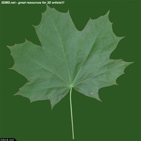 maple tree leaves free maple tree leaf texture image gallery