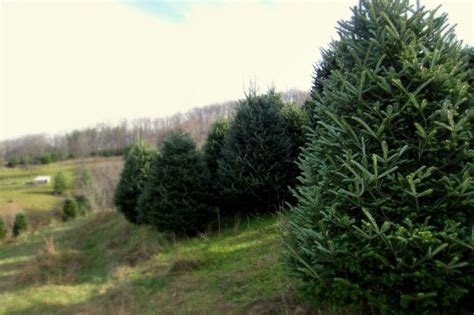 choose and cut christmas tree farms in the nc mountains