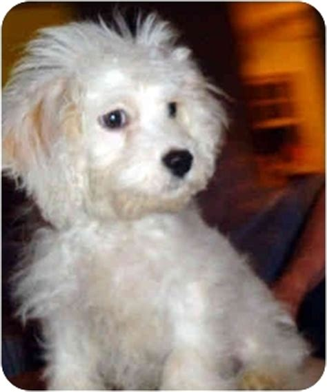 havanese rescue new york rual adopted puppy ardsley ny havanese poodle standard mix