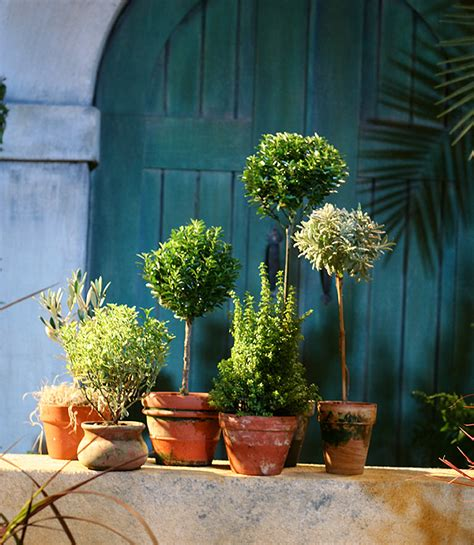 herb topiaries how to start an herb garden for cooking more