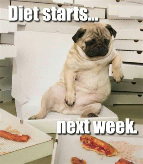 pug diet the pug anthem diet starts next week while sitting on a chair pizza lol