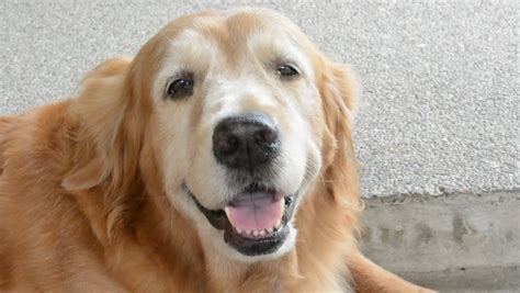 golden retriever panting happy golden retriever pet is smiling and panting in 1920x1080 hd quality stock
