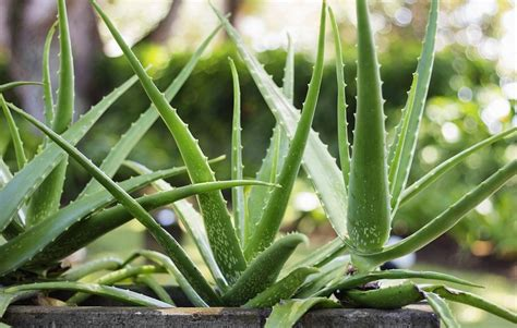 aloe vera plant facts 5 beauty benefits of using aloe vera on your skin women