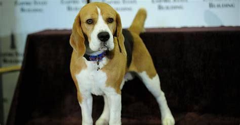 westminster officials eject  champ uno  beagle