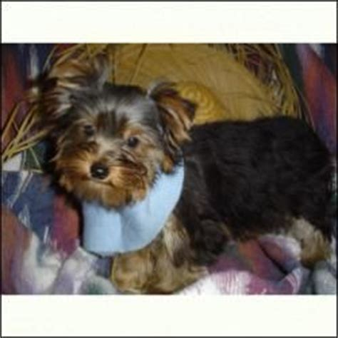 teacup yorkie breeders in md healthy teacup yorkie puppies for free adoption pets from arundel maryland