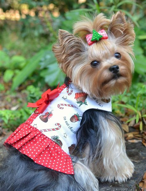 images of christmas yorkies 1000 images about christmas yorkies on pinterest yorkie