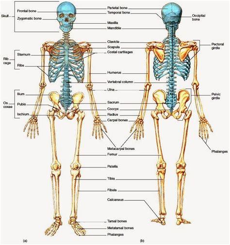 body anatomy pesquisa google skeleton system