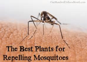 the best plants for repelling mosquitoes one hundred dollars a month