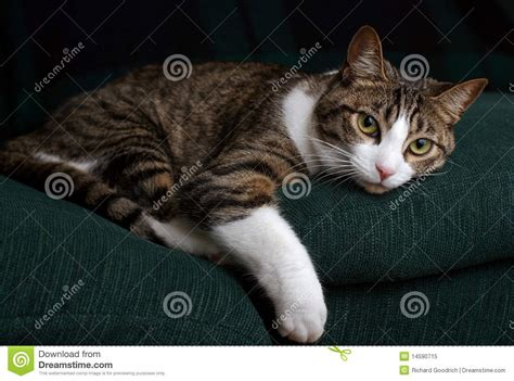 cat staring at couch cat on a green couch royalty free stock photo image