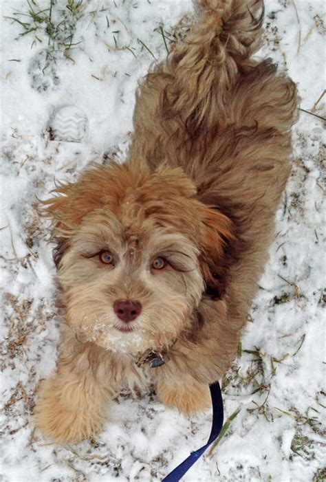 havanese pekingese mix grady the havanese mix puppies daily puppy