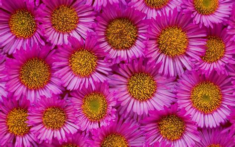xs wallpapers hd aster flowers wallpapers