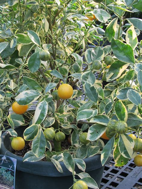 fine tuning growing calamondin orange   home