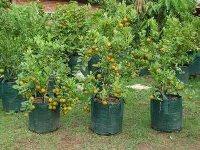 5 paduan tepat budidaya tanaman buah jeruk manis
