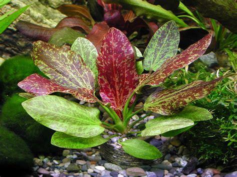 Aquascape Aquarium Supplies Echinodorus Red Flame Rare Amazon Sword Live Aquarium