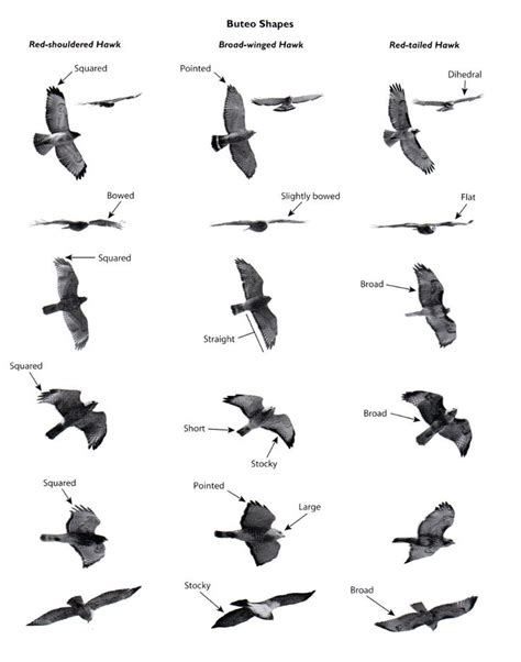 the 25 best hawk identification ideas on pinterest