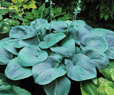 17 best images about new hostas on pinterest candy dishes shade perennials and white feathers