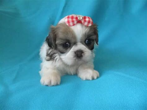 imperial shih tzu breeders uk imperial shih tzu puppies for sale uk 2 boys 2