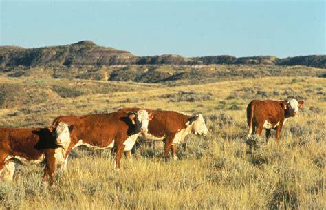 hereford cattle file hereford cattle jpg wikipedia