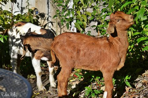 can i have goats in my backyard can i have goats in my backyard 28 images can i have