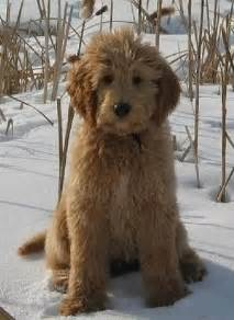 face hairstyle goldendoodle goldendoodle grooming styles google search dogs