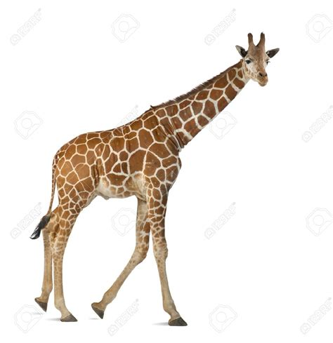 imagenes de jirafas con reflexion poema a la jirafa fercubi