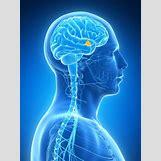 Hypothalamus   599 x 799 jpeg 118kB