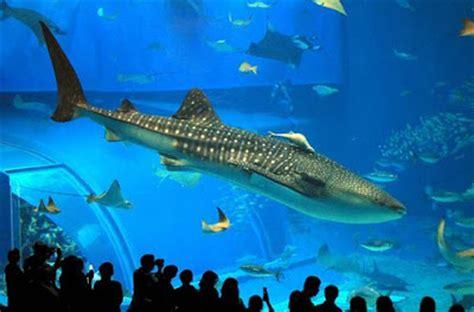 Ikan Paus Beras 2 5 Kg paus biru binatang terbesar di dunia info zaman