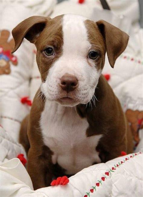 pitbull puppies az pit bull puppy for puppy fridays from underdog rescue of arizona i my