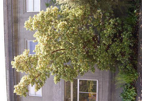 Botanical Gardens Seattle Wa Plantfiles Pictures Summer Manzanita