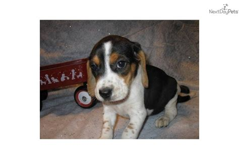akc beagle puppies beagle for sale malaysia breeds picture