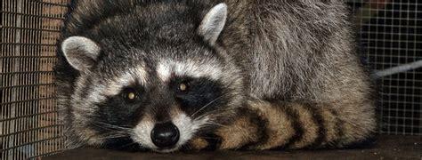 erie wildlife rescue wildlife rehabilitation experts