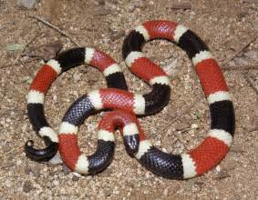 coral snake colors u s coral snakes ferrebeekeeper