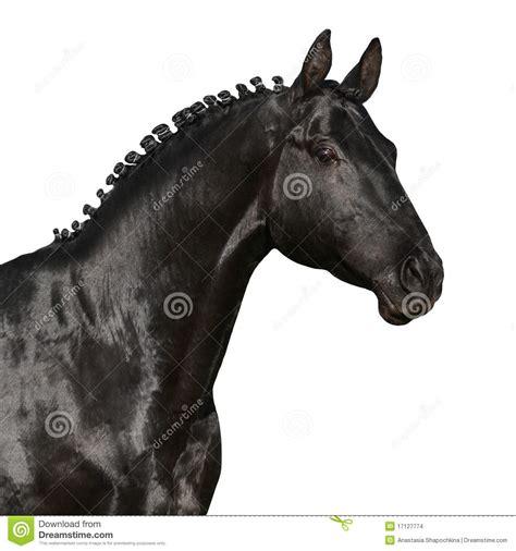black horse head isolated  white stock images image