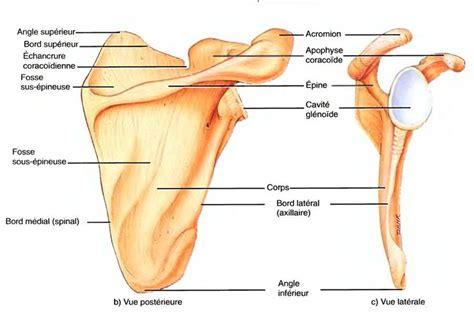 le squelette appendiculaire la ceinture scapulaire
