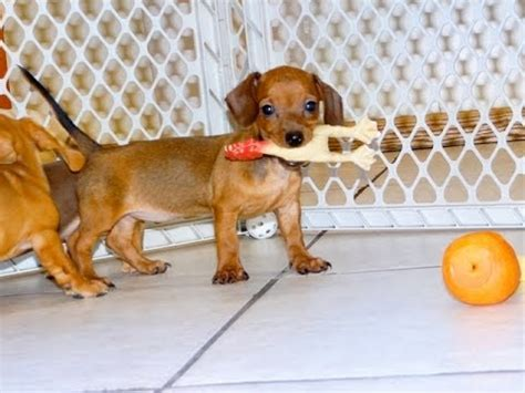 puppies for sale chesapeake va miniature dachshund puppies dogs for sale in virginia virginia va