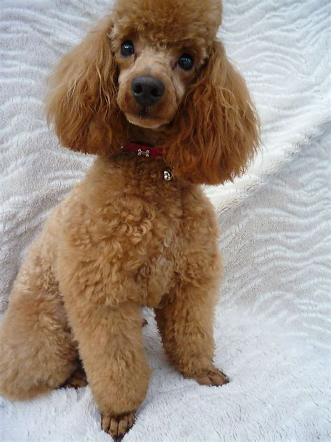 red toy toy poodle red www pixshark com images galleries with