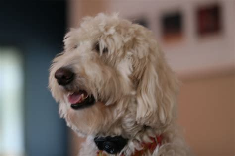 how to groom a how to groom a labradoodle labradoodle haircut